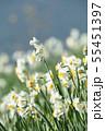 日本スイセンの花 55451397