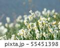 日本スイセンの花 55451398