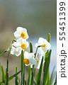 日本スイセンの花 55451399