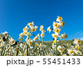 日本スイセンの花 55451433