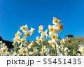 日本スイセンの花 55451435