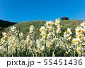 日本スイセンの花 55451436