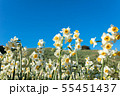 日本スイセンの花 55451437