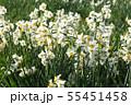 日本スイセンの花 55451458