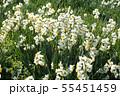 日本スイセンの花 55451459