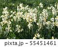 日本スイセンの花 55451461