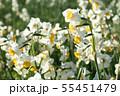 日本スイセンの花 55451479