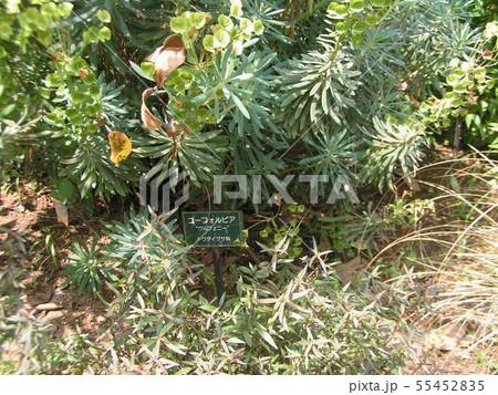 ユーフォルビアの緑色の花 55452835