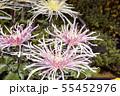 菊花展の菊 55452976