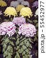 菊花展の菊 55452977