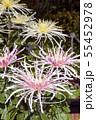 菊花展の菊 55452978