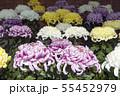 菊花展の菊 55452979