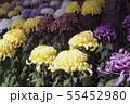 菊花展の菊 55452980