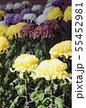 菊花展の菊 55452981