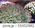 菊花展の菊 55452982