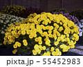 菊花展の菊 55452983