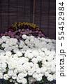菊花展の菊 55452984