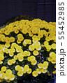 菊花展の菊 55452985