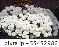 菊花展の菊 55452986