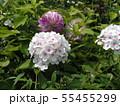 """フロックス パニキュラータ""""ノーラレイの花 55455299"""