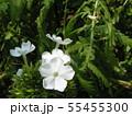 """フロックス パニキュラータ""""ノーラレイの花 55455300"""