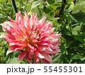セミカクタスダリアの桃色の花 55455301