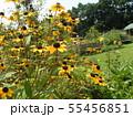 ヒマワリの小さい花のようなルドベキアの黄色い花 55456851