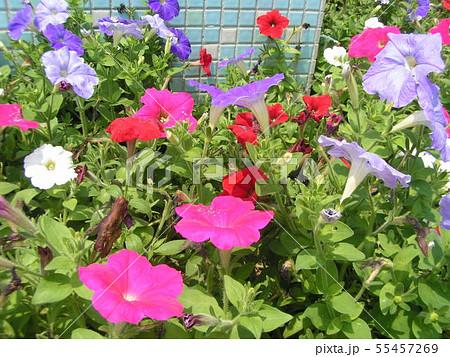 夏の花ペチュニアの赤青白の花 55457269