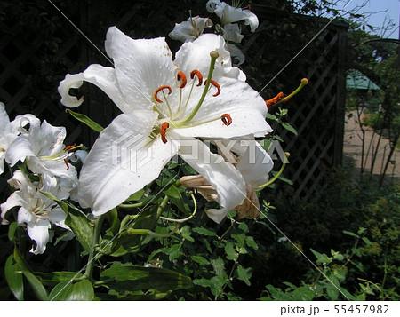 白い大きな花の百合はカサブランカ 55457982