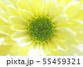 菊の花 55459321