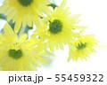 菊の花 55459322