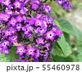 ヘリオトロープの青い花 55460978
