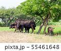 和牛,黒毛和牛,肉牛,牛 55461648