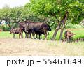 和牛,黒毛和牛,肉牛,牛 55461649