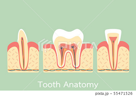 tooth anatomy structure including the bone and gum 55471526