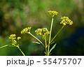 オミナエシ(女郎花) 55475707