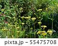 オミナエシ(女郎花) 55475708
