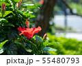 ハイビスカス 夏イメージ 花 赤い花 南国 55480793