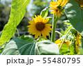 向日葵 夏 黄色 花 夏の花 黄色い花 55480795