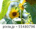 向日葵 夏 黄色 花 夏の花 黄色い花 55480796