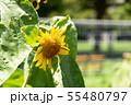 向日葵 夏 黄色 花 夏の花 黄色い花 55480797