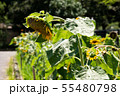 向日葵 夏 黄色 花 夏の花 黄色い花 55480798