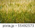 麦畑 55492573