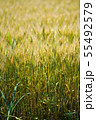 麦畑 55492579