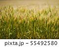 麦畑 55492580