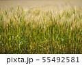 麦畑 55492581