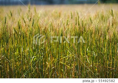 麦畑 55492582