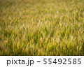麦畑 55492585