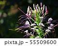 クレオメの花 55509600
