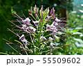 クレオメの花 55509602